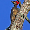 Lineated Woodpecker, the tropical close cousin of a Pileated (Photo by participant Bob Polkinghorn)