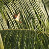 A Great Kiskadee explodes from a palm in a flash of rufous and yellow. (Photo by participant Bob Polkinghorn)