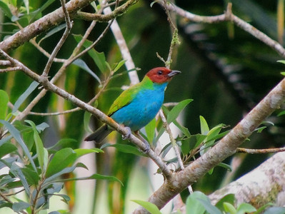All right, time to head southward again in Central America, this time to our Panama's Canopy Lodge tour with guide John Rowlett, where participant Max Rodel grabbed this pic of a handsome Bay-headed Tanager.