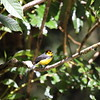 A Collared Redstart always brightens up the forest birding. (Photo by participant Bob Polkinghorn)