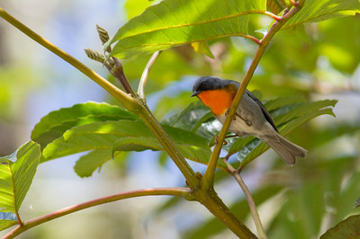 Guide Tom Johnson joined Jay VanderGaast to co-lead our group, and Tom captured this image of one of the loveliest of the wood-warblers, a Flame-throated.