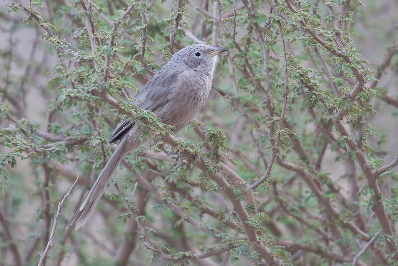 The soft tones of the Arabian Babbler lend it a subtle beauty. (Photo by guide George Armistead)