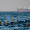 A group of endemic Socotra Cormorants swim in the foreground as a tanker approaches the Strait of Hormuz. (Photo by guide George Armistead)