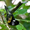 Tiri Tiri Matangi is a great place to see the unique Stitchbird. This handsome bird is now in a family (Notiomystidae) that it shares with no other species. (Photo by guide George Armistead)