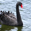 The Black Swan is now known from fossil remains to have been a native part of the New Zealand avifuana and not just an introduced species. (Photo by participant Linda Nuttall)