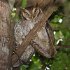 More on the owl theme--keen eyes spotted these Tropical Screech-Owls tucked into a day-roost near the lodge! (Photo by guide Chris Benesh)