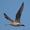 """In Maori this one's known as the """"Kuaka,"""" but we know it as Bar-tailed Godwit. This species performs the longest known non-stop migration of any bird, and many pass the winter on the shores at Miranda on New Zealand's North Island, where this bird flew over us. (Photo by guide George Armistead)"""