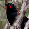 Together with the Kokako and the extinct Huia, the Saddlebacks comprise the family of wattlebirds (Callaeidae) endemic to New Zealand. (Photo by guide George Armistead)