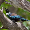 This month we've got an exciting fresh series of recent photos from participants and guides on tours from New Zealand to Arabia and Panama to Costa Rica, then southward to Chile and Brazil. For our opener above: The incomparable Tui (also known as Parsonbird for that cool neck tuft) was photographed by guide George Armistead at Tiri Tiri Mantangi on our recent New Zealand tour and is surely second only to the kiwi as New Zealand's most iconic bird (and we scored a couple of kiwi species, too!).