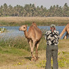 Camels make good photographic subjects. Here a couple wander past us at one of the many khawrs (estuarine areas) we visit in southern Oman. (Photo by guide George Armistead)