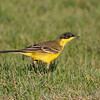 "Eastern Arabia is a good place to study wagtails and especially the Yellow Wagtail complex. The ""Black-headed"" (feldegg) Yellow Wagtail is one group many authorities would split. (Photo by guide George Armistead)"