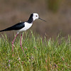 Elegantly attired, the Pied Stilt abounds in many wetland areas of New Zealand. Our luck also yielded a sighting of the endangered Black Stilt, one of the world's rarest birds. (Photo by guide George Armistead)