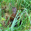 It isn't everyday you get to see a flightless rail. There are only about 20 species in the world, and most have suffered large population declines due to introduced predators. This Weka was our second flightless rail of the trip; our first was the Takahe, which is the largest rail in the world. (Photo by participant Linda Nuttall)