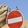 These White-eared Bulbuls seemed to be making sure we obeyed the road sign. They range from Turkey to Arabia and are quite common in the UAE. (Photo by guide Phil Gregory)