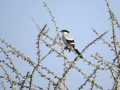 Southern Gray Shrike by guide Phil Gregory. Watch the taxonomy of this one...with lots of subspecies, there are likely some splits in the works!