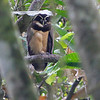 ... double bonus, a Spectacled Owl on another one. (Photos by guide Lena Senko)