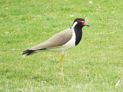 Red-wattled Lapwing was a nice distraction on a lawn...though that's not exactly natural habitat in this part of the world! (Photo by guide Phil Gregory)