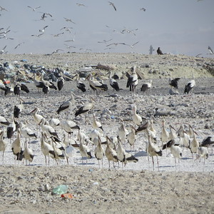 A group of loafing White Storks -- who would have thought of storks as dump pickers? (Photo by guide Phil Gregory)