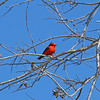 This will brighten up any birder's morning: a male Vermilion Flycatcher! (Photo by participant Mahlon Hale)