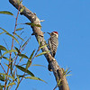 Ladder-backed Woodpecker is a specialty of the arid parts of the southwestern US down into Mexico and Guatemala. (Photo by participant Mahlon Hale)