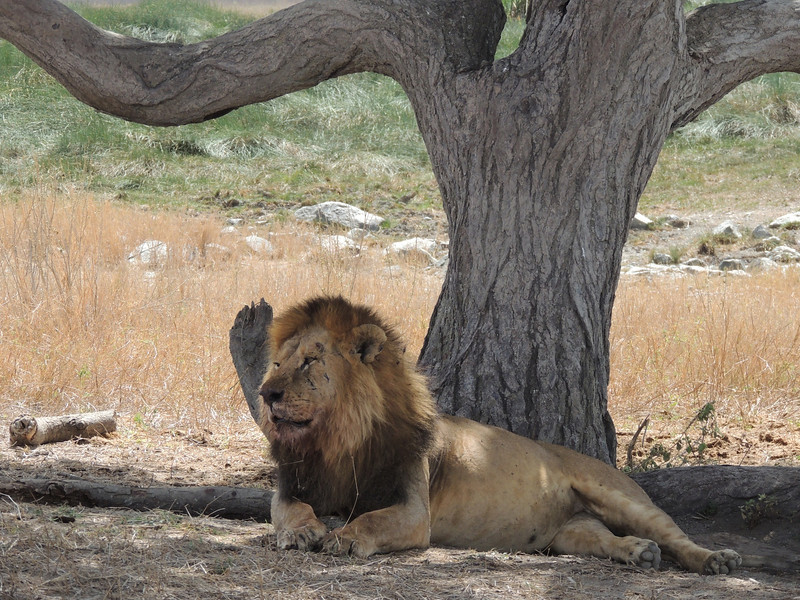 Big animals are of course always a highlight of an East Africa visit, for birders as well as everyone else. We had great views of Lions...