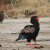 It's classic birds as well, with fine regulars like Bateleur...