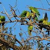 These Green Parakeets alowed us great views as they were busy preening themselves and each other. (Photo by participant Mahlon Hale)