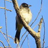 White-spectacled Bulbul is quite a common bird in the rocky montane areas. (Photo by guide Phil Gregory)