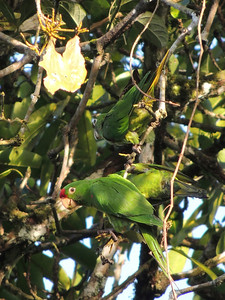 Crimson-fronted Parakeets blend right into the foliage and can be hard to find if they're foraging quietly...till they explode in a screeching horde. (Photo by guide Megan Edwards Crewe)