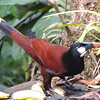 ...and there are some great birds to be seen at feeders at Rancho and elsewhere, including the impressive Montezuma Oropendola. (Photo by guide Megan Edwards Crewe)