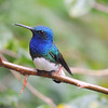 Costa Rica's always a great destination for hummingbirds, and White-necked Jacobins seem to enjoy posing nicely. (Photo by guide Megan Edwards Crewe)