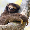 This Brown-throated Three-toed Sloth appears to define the last word in its name. (Photo by guide Lena Senko)