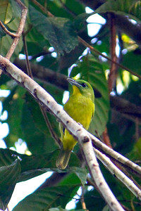 """Green Shrike-Vireo is always one of the """"want"""" birds on this tour -- it's regularly heard but often hard to see as its colors blend in perfectly! (Photo by guide Lena Senko)"""