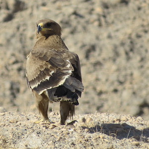 This Steppe Eagle gave us some great views. Looks like it's just about ready for a few new feathers... (Photo by guide Phil Gregory)