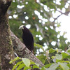 Here is its more demure and smaller cousin, the Chestnut-headed Oropendola. (Photo by guide Megan Edwards Crewe)