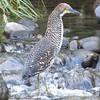 """Always watch the rivers and streams for Fasciated Tiger-Heron...our group spotted this """"tiger"""" immature along the way. (Photo by participant Merrill Lester)"""