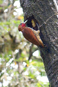 This Cinnamon Woodpecker was very busy searching for grubs in this hole. (Photo by guide Lena Senko)