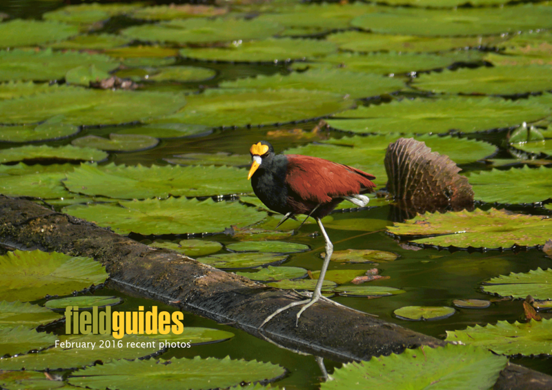 "We have images from a great variety of recent tours this month, and let's begin with ""Holiday Costa Rica: Rancho Naturalista"" -- imagine having toes as long as those on this Northern Jacana, for which ""lily-trotter"" seems a very apt nickname! (Photo by participant Sandy Paci)"