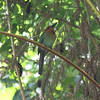 From this angle, it is easy to see how Broad-billed Motmot gets its name. (Photo by participant Betsy Fulmer)
