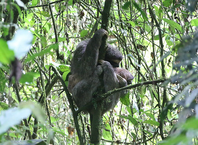 This mother and young created a tangle of Brown-throated Three-toed Sloths for this image by participant Betsy Fulmer.