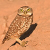 This obliging Burrowing Owl posed for some close-ups. (Photo by participant Denise Hackert-Stoner)