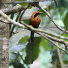 """From Darien, let's move to our recent """"Panama's Canopy Lodge: El Valle de Anton"""" tour with guide John Coons. Participant Betsy Fulmer shared this photo of a dapper Rufous Motmot."""
