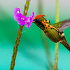One of the perennial favorites on this tour is the minuscule Tufted Coquette, which visits the Asa Wright gardens daily. Photo by participant Tony Quezon.