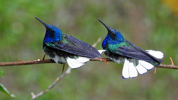 What's better than seeing a male White-necked Jacobin  bathing during a brief shower?...Two males on full display! Photo by participant Max Rodel.