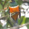 Here's a snazzy Orange-bellied Trogon from participants Andrew & Rebecca Steinmann. It's found only in Panama and Costa Rica.