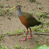 This Gray-cowled Wood-Rail obligingly stepped into the open for us. Photo by participants Andrew & Rebecca Steinmann.