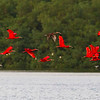 Our grand finale on Trinidad is an evening roost of thousands of Scarlet Ibis. Photo by participant Tony Quezon.