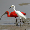 Here is another gorgeous Scarlet Ibis, this time with a Snowy Egret. We watched them with one or our private groups in Guyana recently. Photo by participant Steve Rannels.