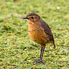 What a treat to see a Tawny Antpitta in the wide open.  Photo by participant Gregg Recer.