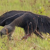 Slow and steady goes the Giant Anteater; what a bizarre creature, more than 6 feet long. Photo by participant Steve Rannels.